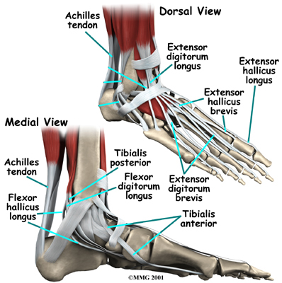 Ligaments of the Foot and Ankle