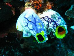 By Silke Baron (originally posted to Flickr as Sea Squirts) [CC-BY-2.0 (http://creativecommons.org/licenses/by/2.0)], via Wikimedia Commons