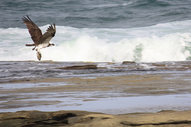 Seize the opportunity like this osprey catching a fish